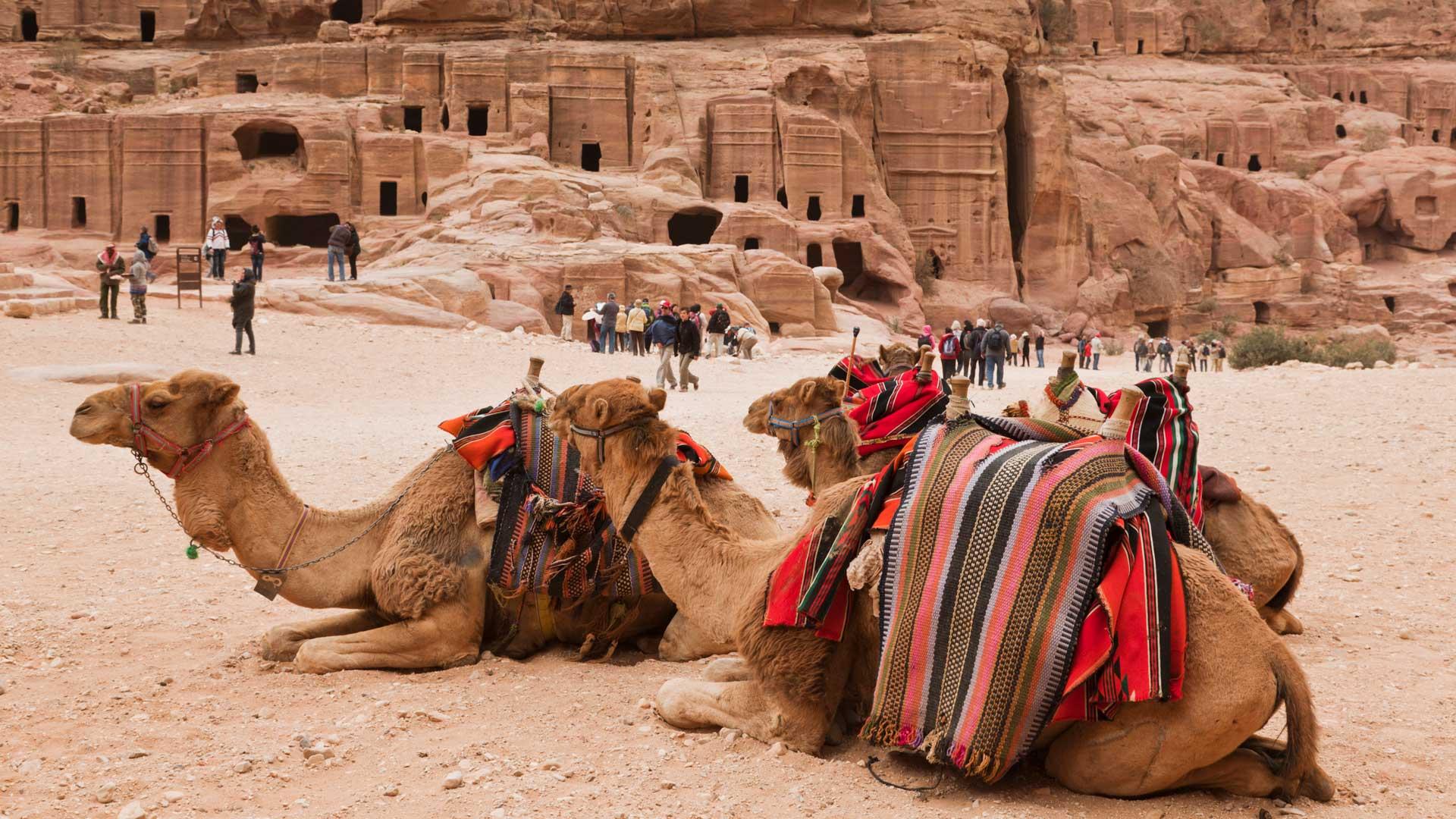 Camels at the Ancient Nabatean City of Petra, Jordan