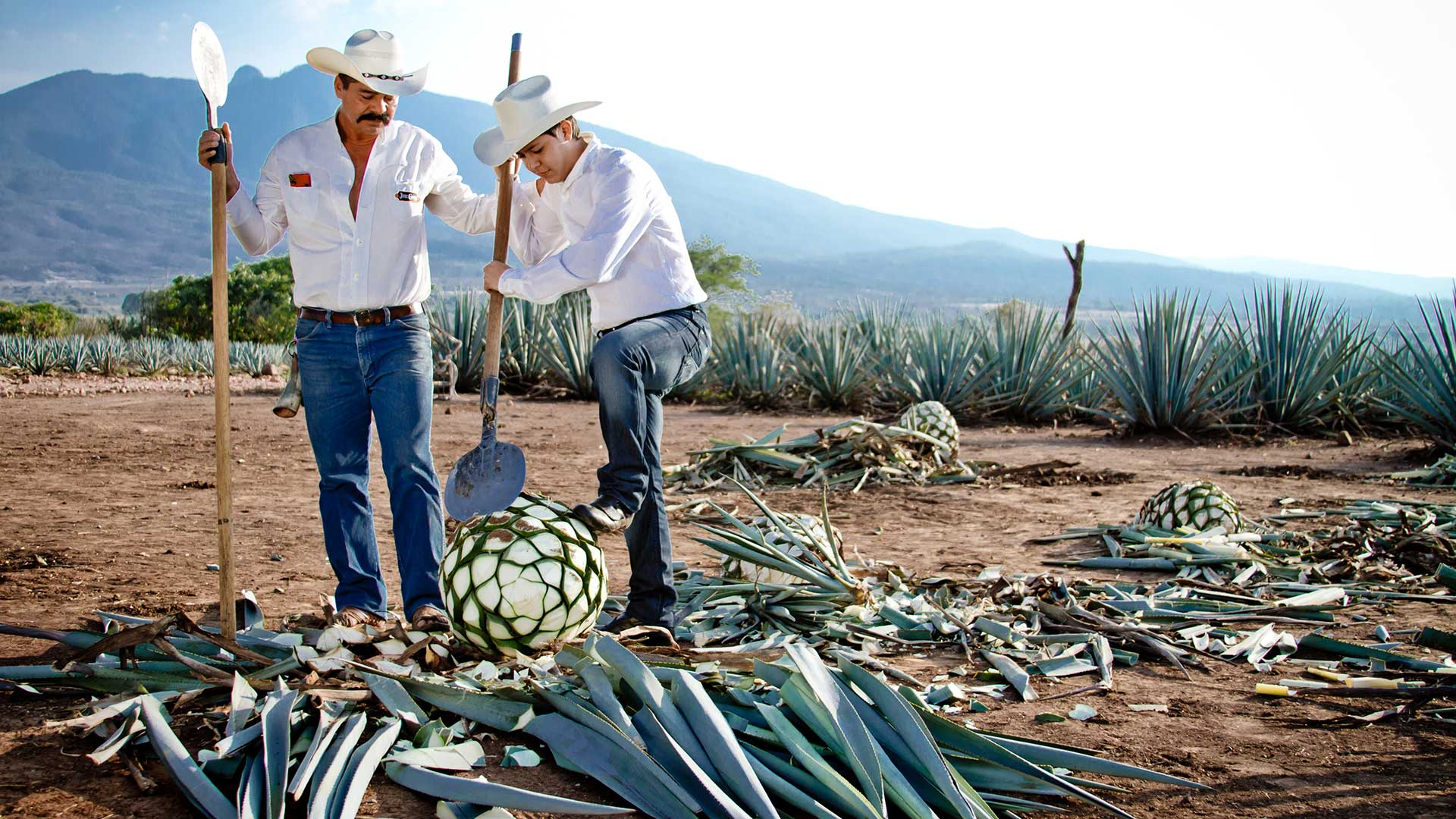 Working in the fields with agave plants before making tequila, Mexico