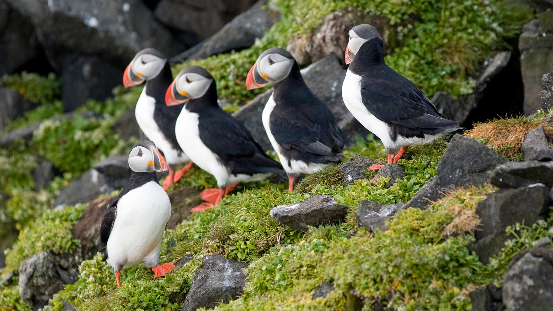 Puffins on a cliff in Norway