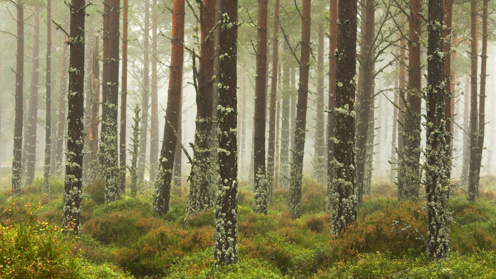 Pine Trees in Mist, Glenmore Forest Park, Aviemore, Highland Region, Scotland