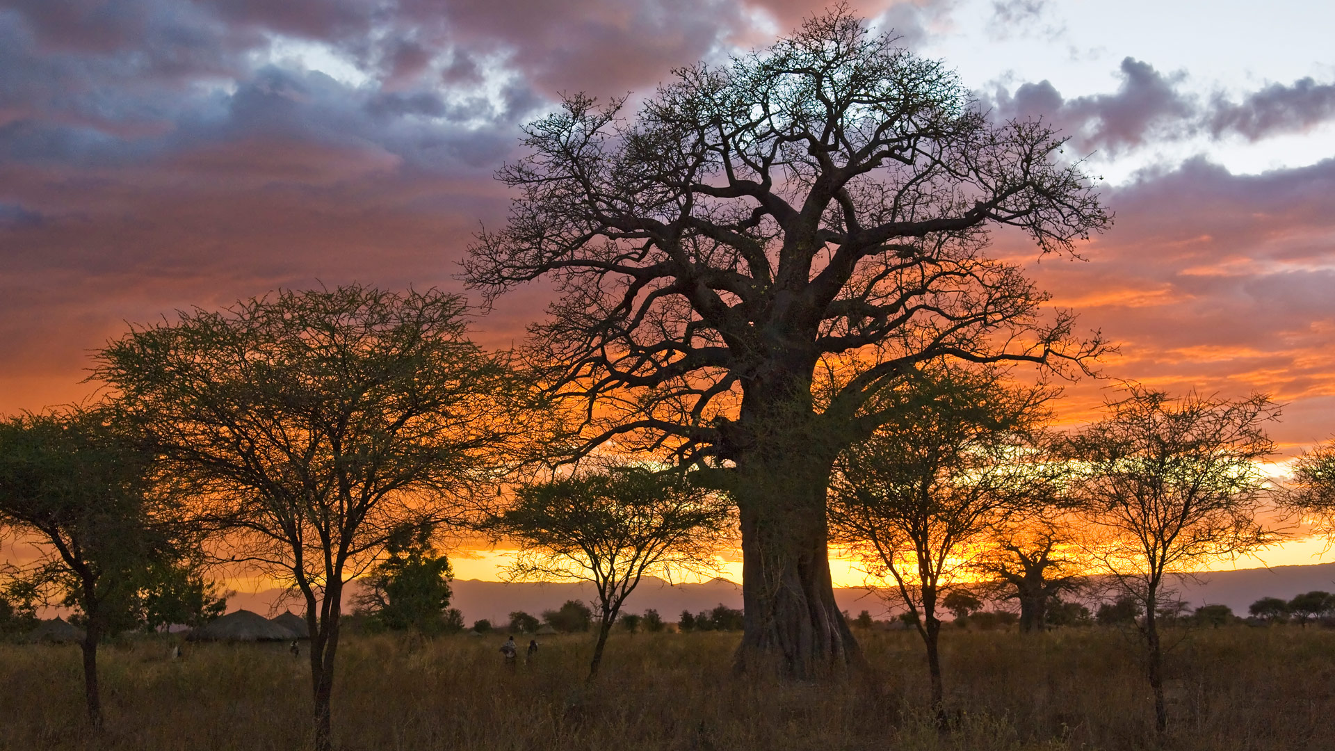 Sunset with baobab tree and Maasai huts in background, Tanzania.