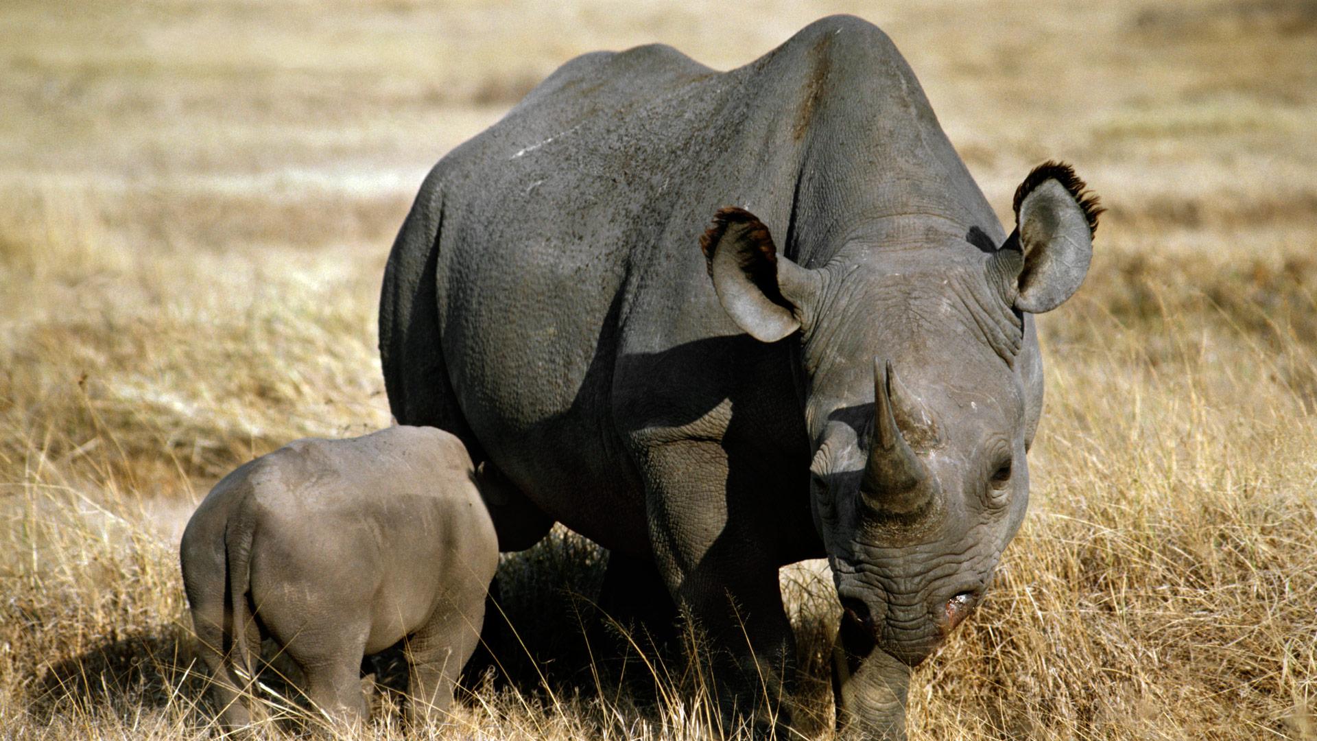 Black rhinoceros with nursing young, Ngorongoro Crater, Tanzania.