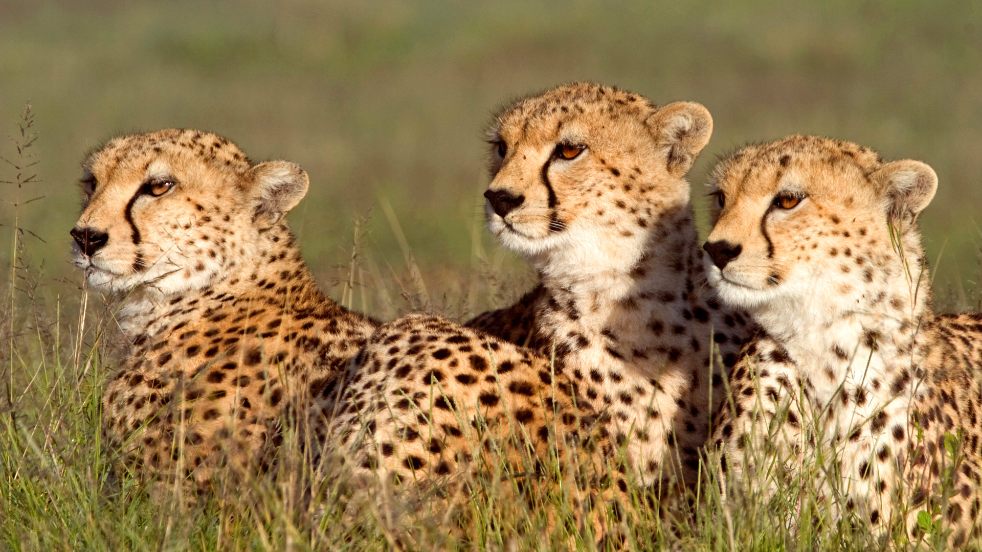 Cheetahs lying in grass, Tanzania.