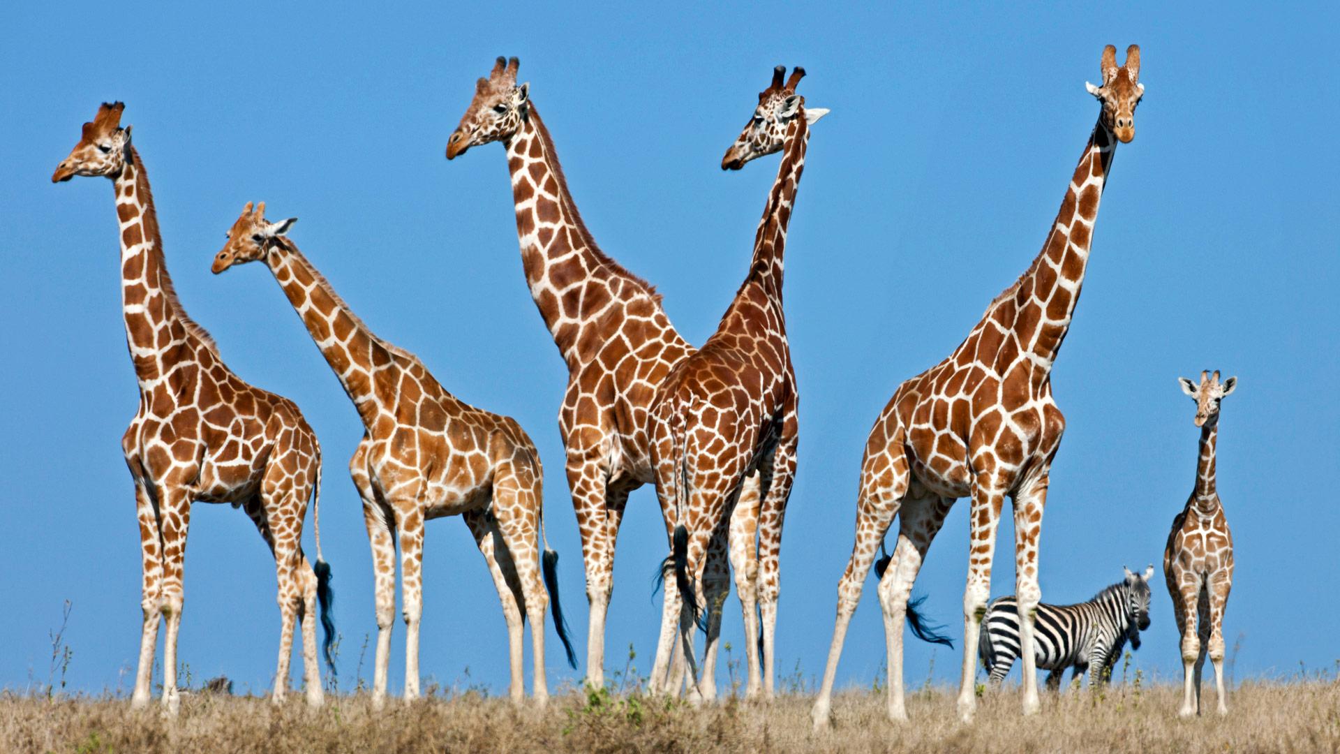Giraffes in Tanzania.