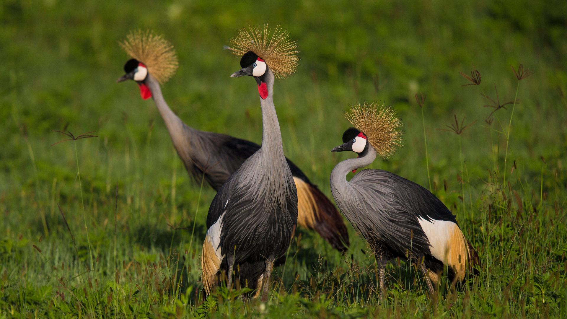 Grey-crowned cranes, Tanzania.