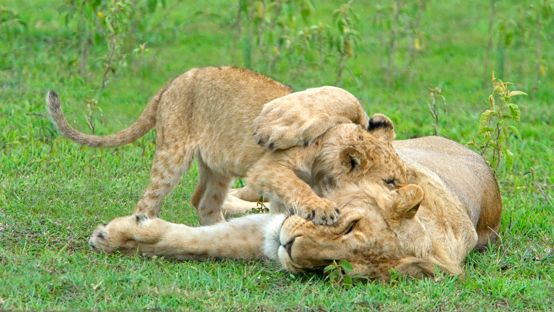 Lion and cub, Tanzania, East Africa.