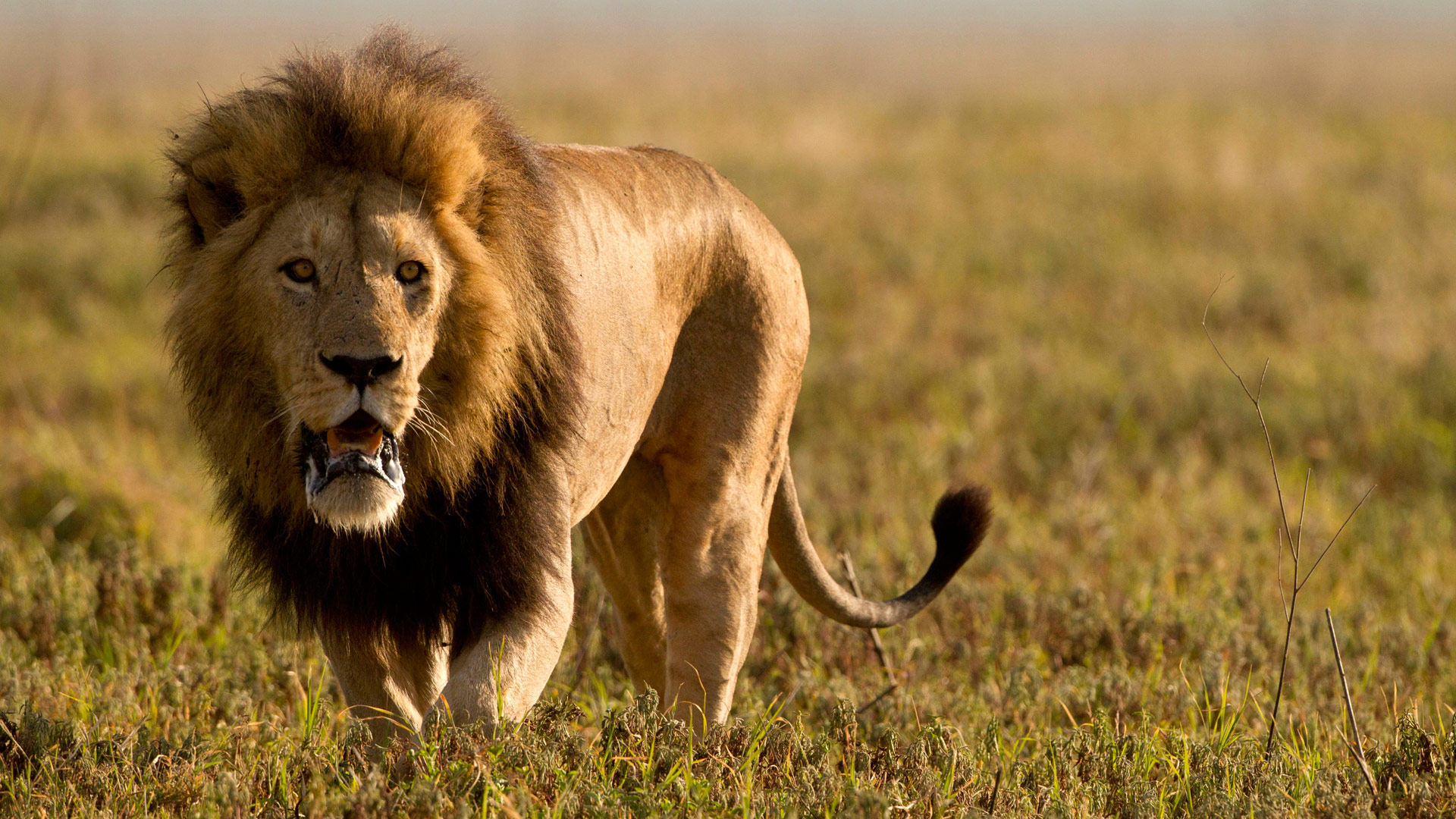 Male lion hunting in the Serengeti, Tanzania.