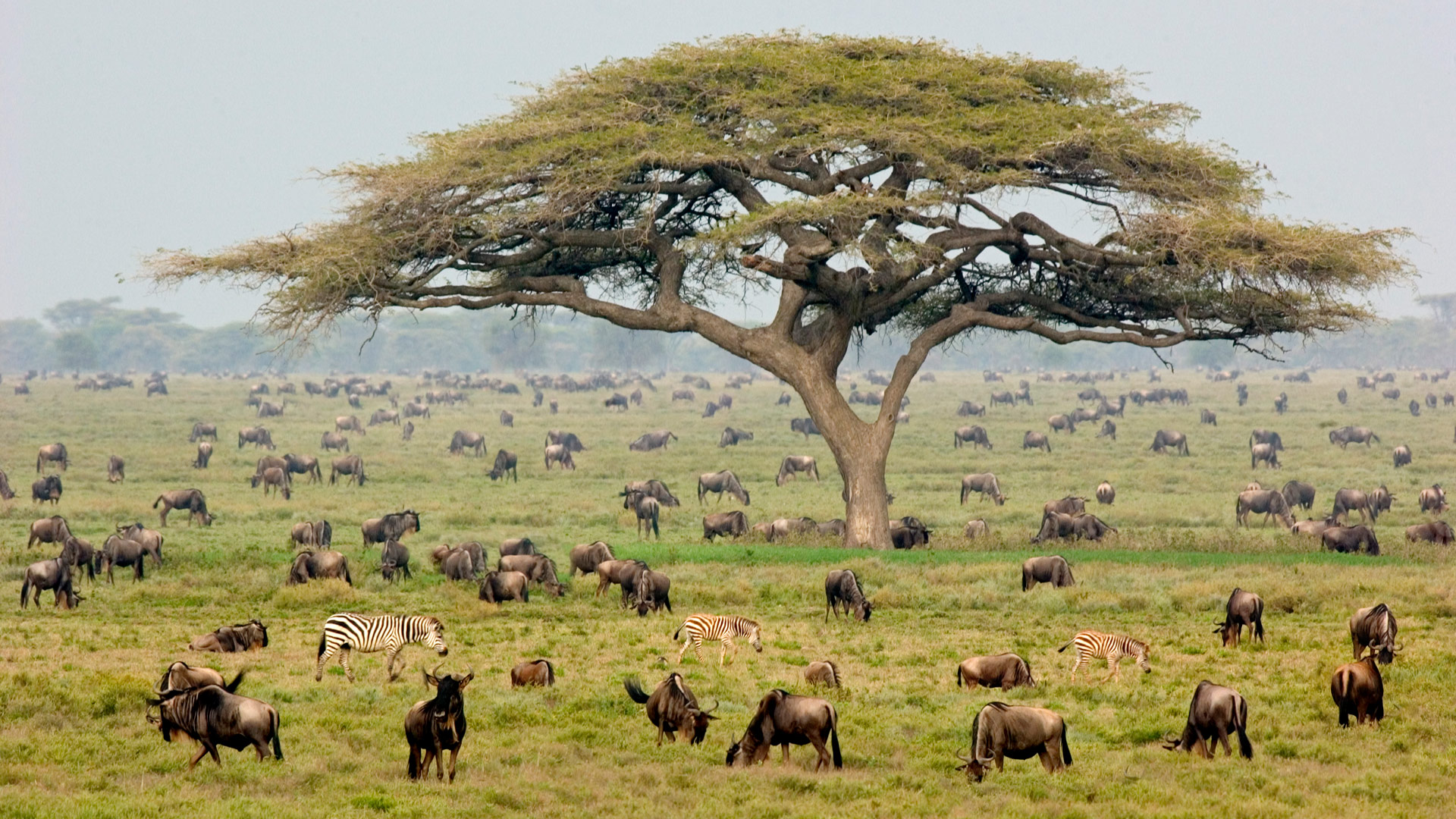Grazing wildebeests and zebras with an acacia tree in the Serengeti, Tanzania.