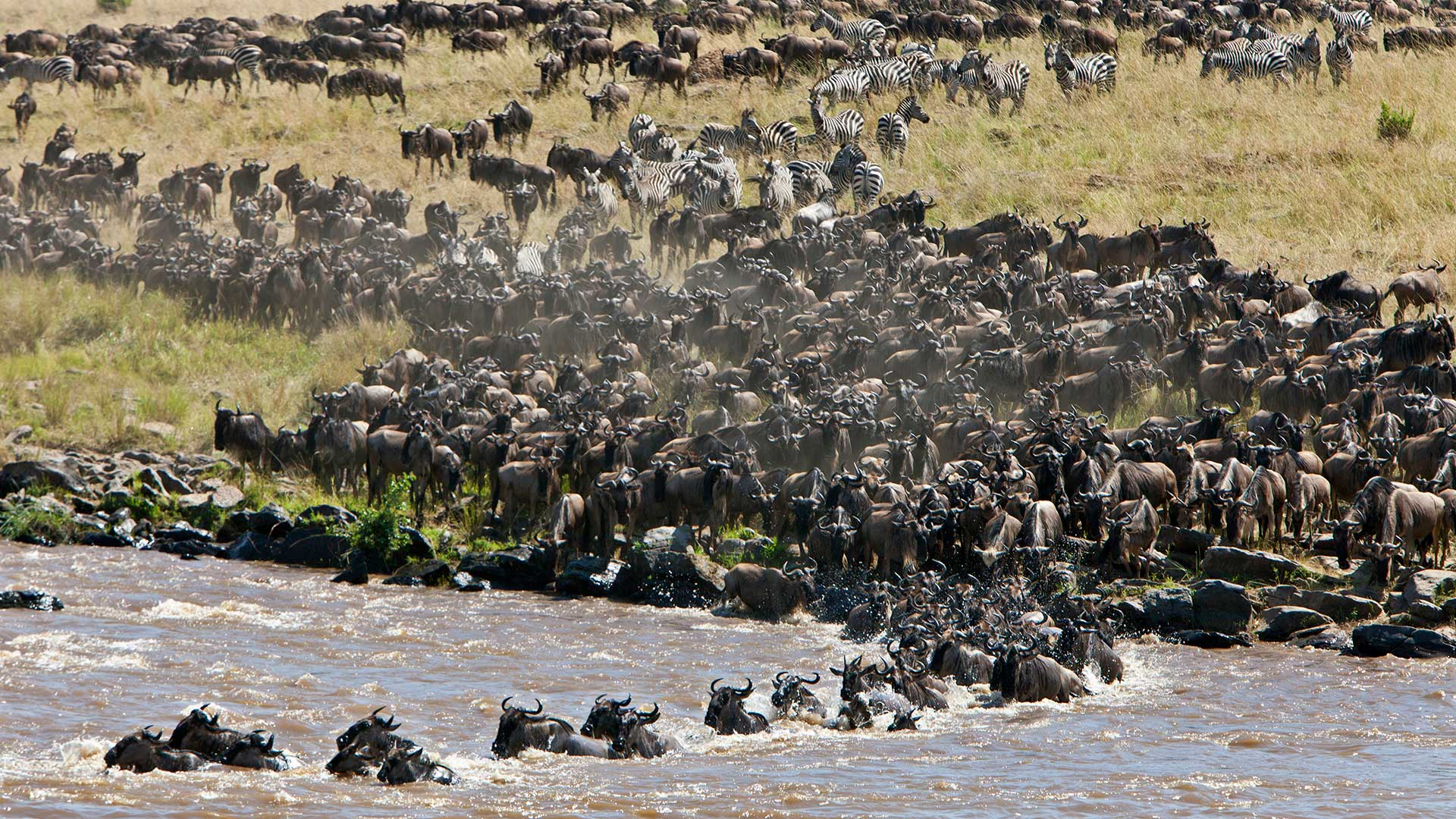 Wildebeests massing to cross the Mara River during their annual migration in northern Tanzania.