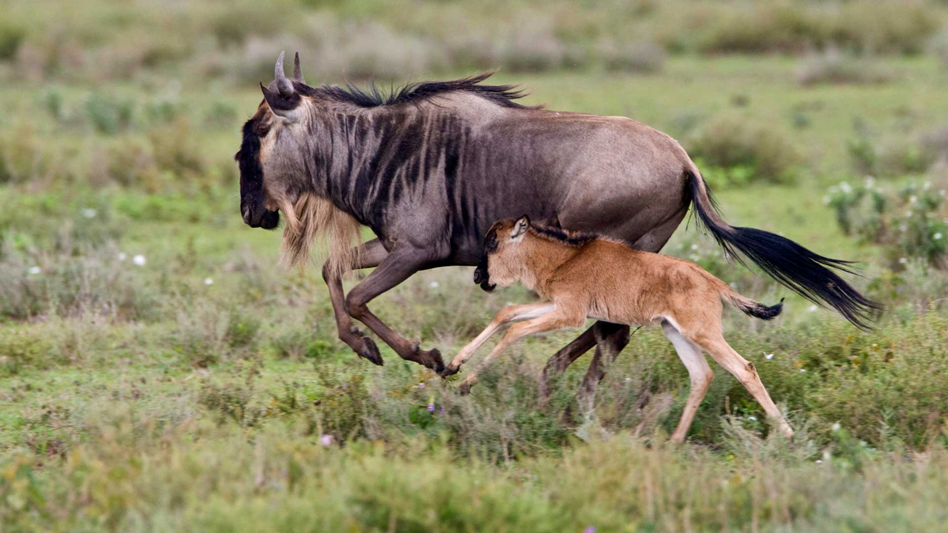 Wildebeest mother and baby running, Tanzania.