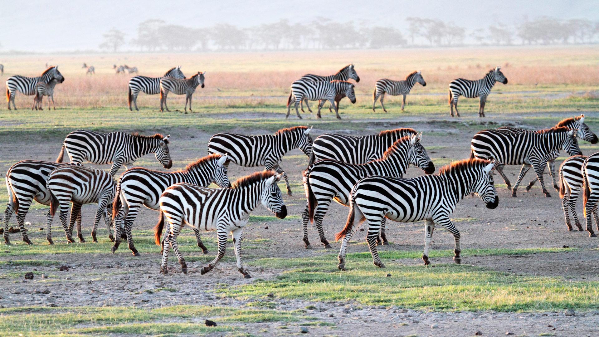 Herd of plains zebra, Tanzania.