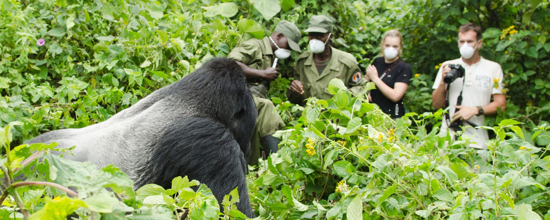 Mountain gorilla and trekkers in Virunga National Park, DRC