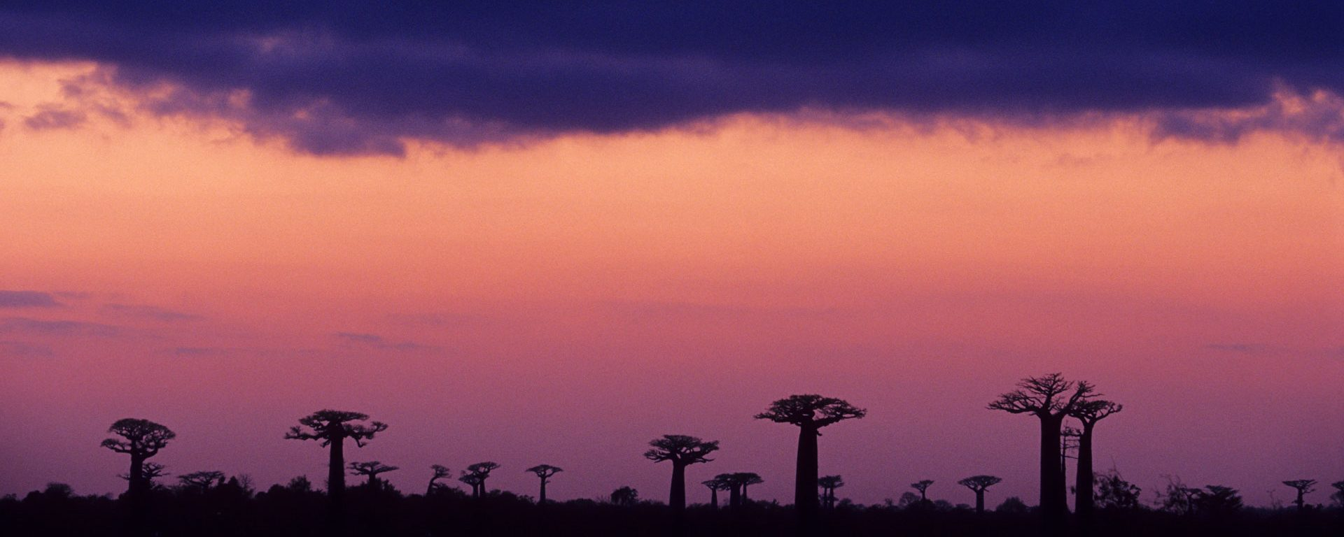Baobab Avenue at sunset in Morondava, Madagascar, Africa