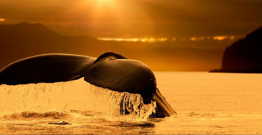 Tail of a humpback whale at sunset, Stephens Passage, Juneau, Alaska