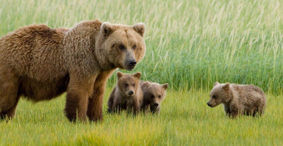Alaskan Brown Bear sow and three cubs, grazing in meadow, Katmai National Park, Alaska