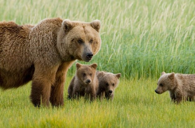 Alaskan Brown Bear sow and three cubs, grazing in meadow, Katmai National Park, Alaska