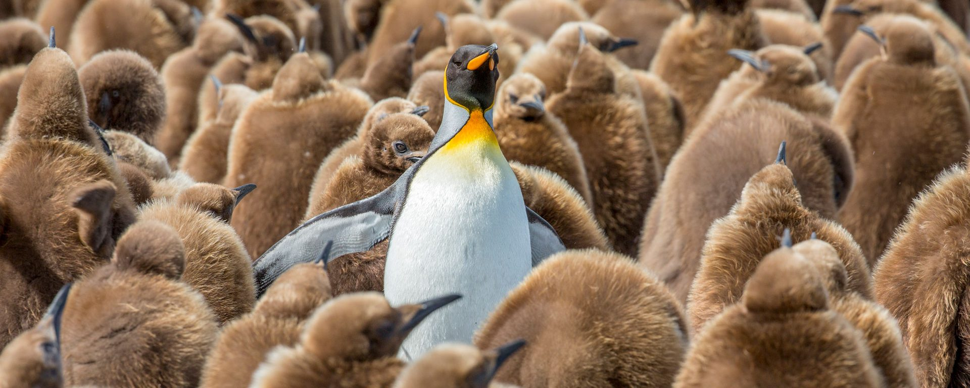King penguin rookery at Gold Harbor, South Georgia Islands, Antarctica