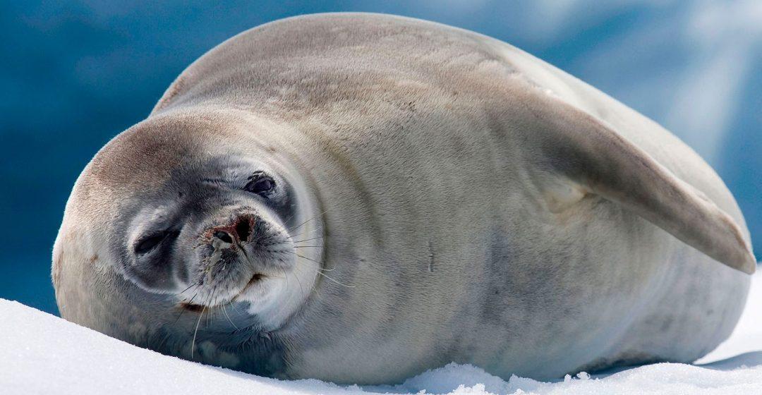 Crabeater seal resting on iceberg in Antarctic sea at Trinity Island, Antarctica