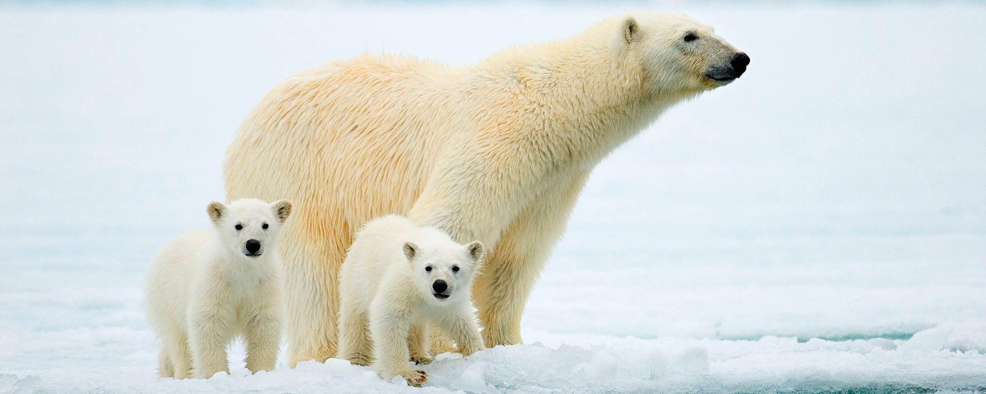 Polar bear mother and twin cubs hunting on the pack ice, Svalbard Archipelago, Arctic Norway