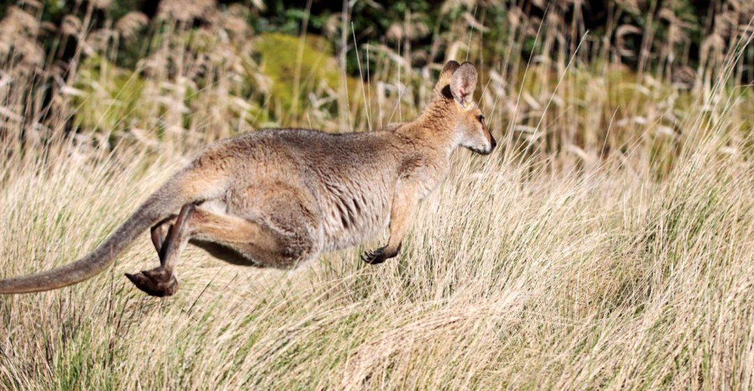 Red-necked wallaby bounding across a grassy clearing in Bunya Mountains National Park, Queensland, Australia