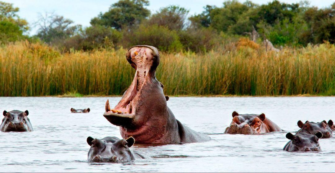Hippos wading in a river in the Okavango Delta, Botswana