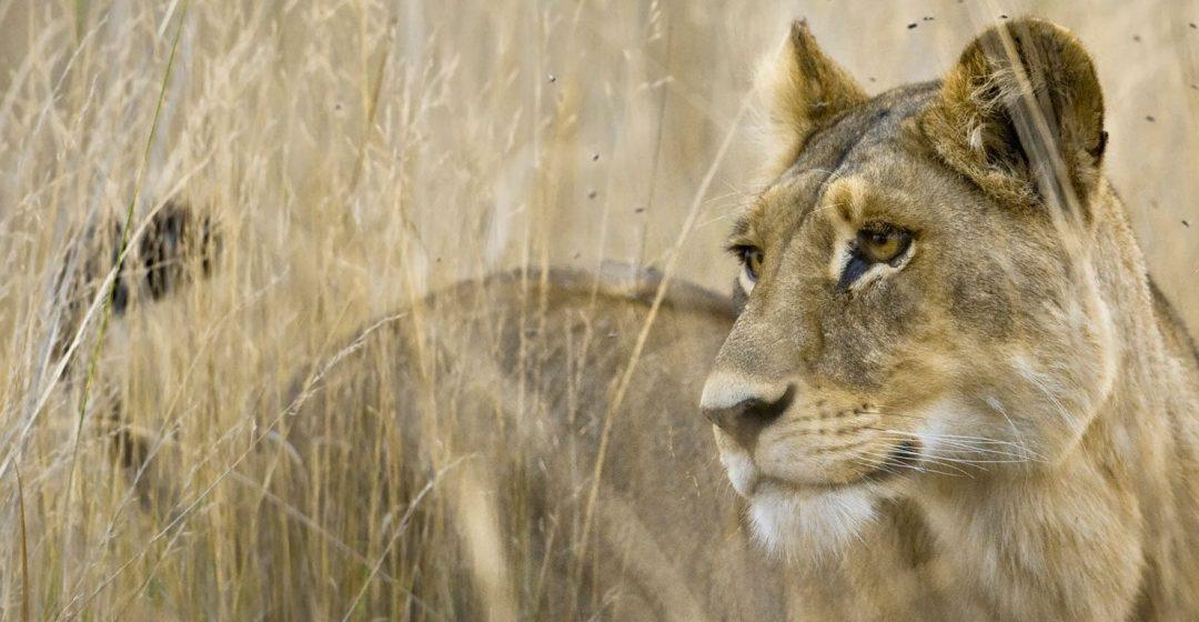 Lion stands in tall grass in the Okavango Delta, Botswana