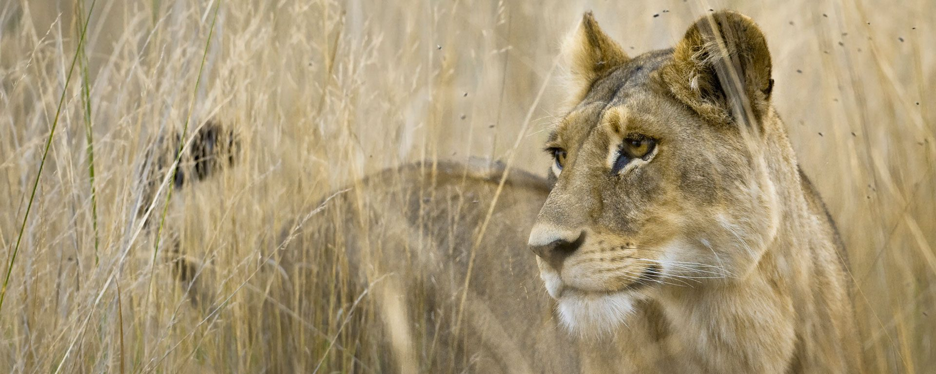 Lion stands in tall grass in the Okavango Delta, Botswana