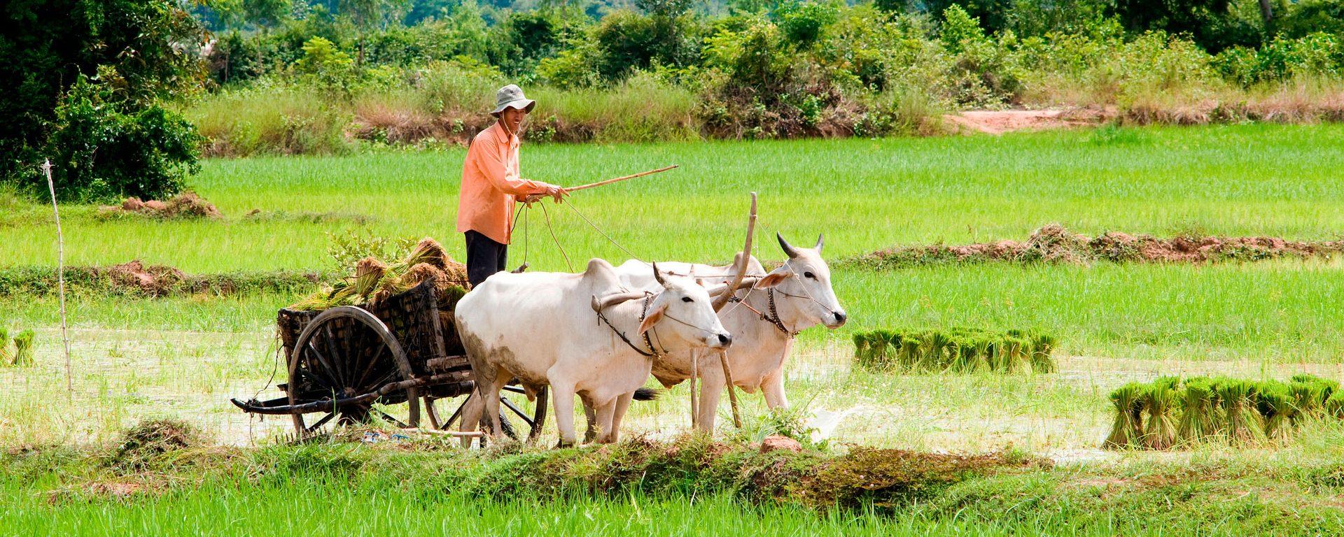 Man drives ox cart through rice fields near Tonle Bati, Cambodia