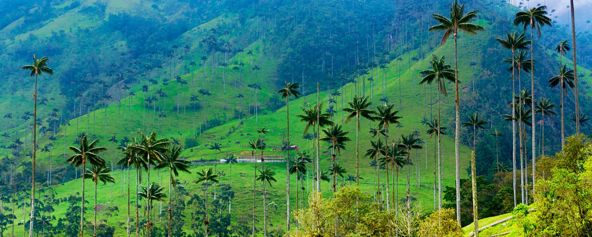 Landscape of wax palm trees in Cocora Valley, Colombia