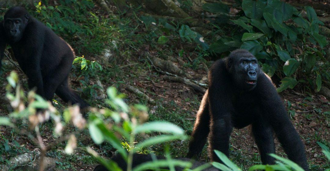 Two western lowland gorillas in Odzala-Kokoua National Park, Congo