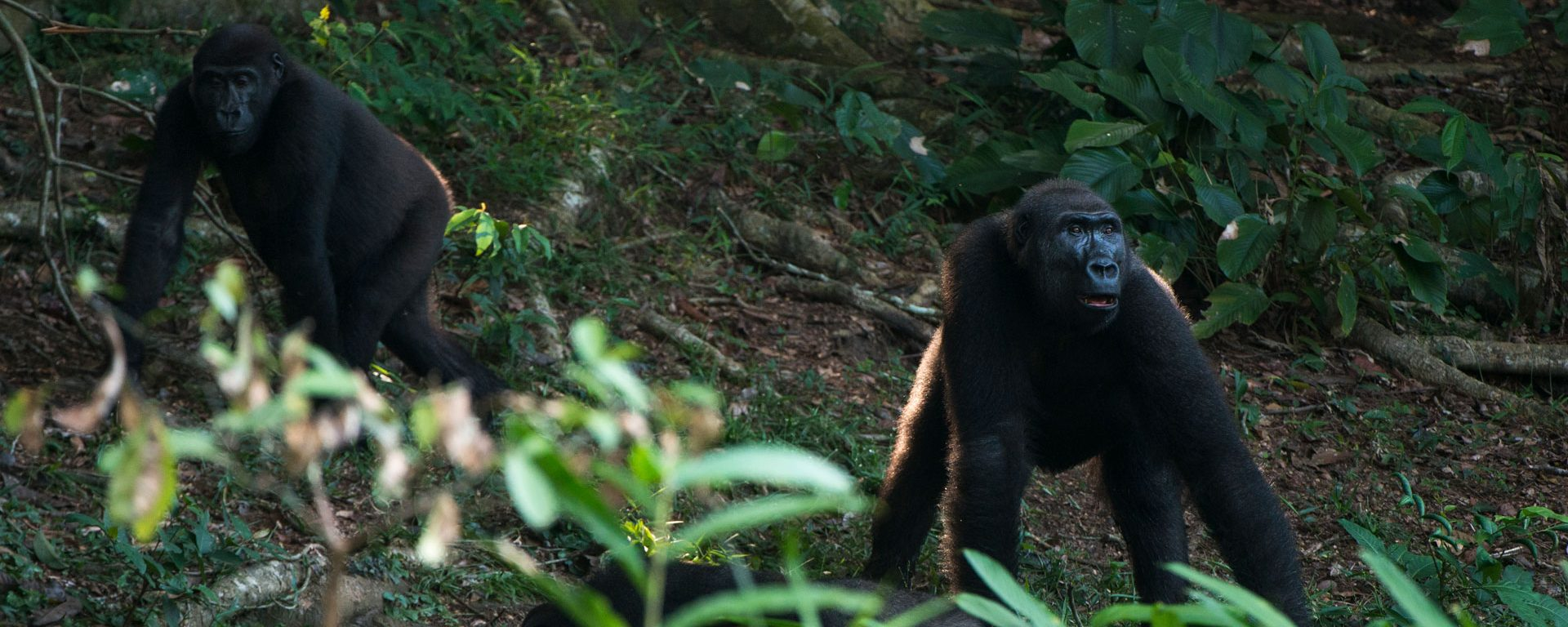 Two western lowland gorillas in Odzala-Kokoua National Park, Congo
