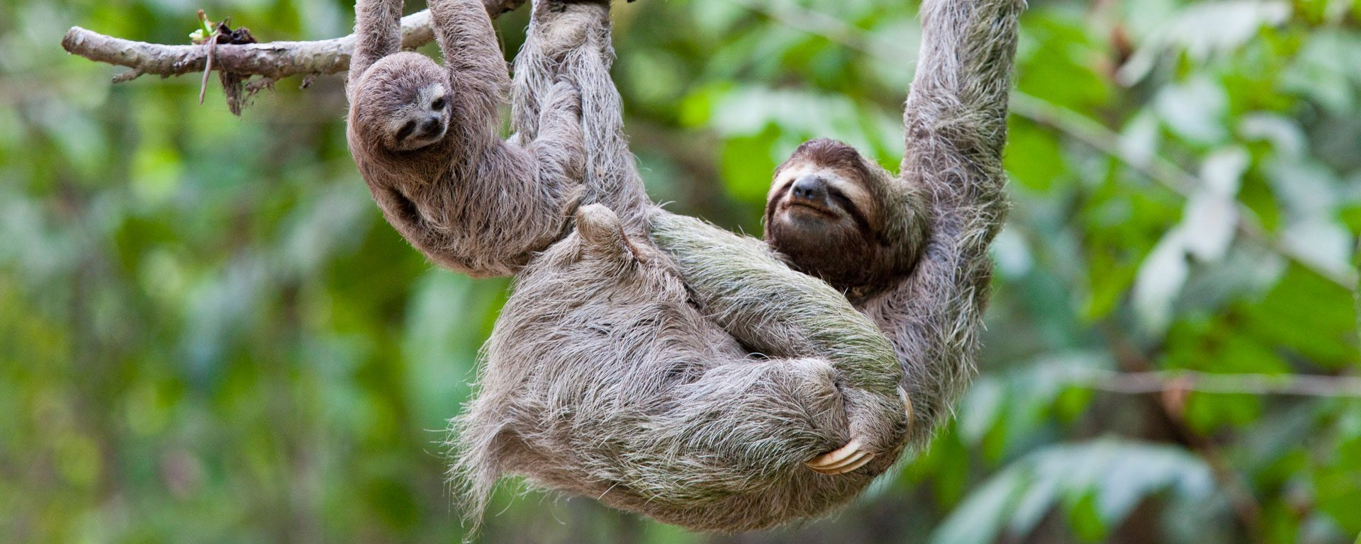 Mother and baby sloths hang on branch in the jungle of Corcovado National Park, Costa Rica