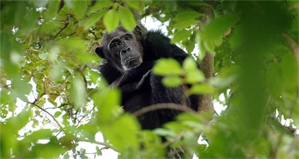 Chimpanzee in tree in Tanzania, Africa.