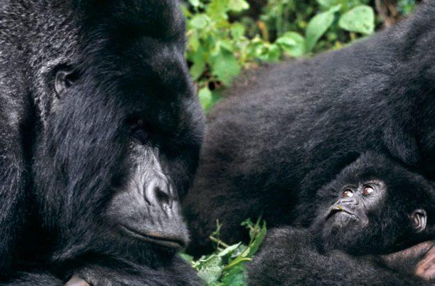 Mountain gorilla family in cloud forest habitat, Virunga National Park, DRC