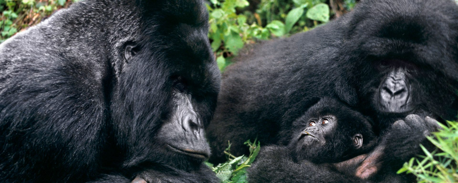 Mountain gorilla family in cloud forest habitat, Virunga National Park, DRC