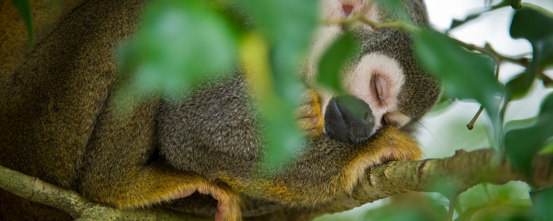 Common squirrel monkey sleeping in tree, Yasuni National Park, Ecuador