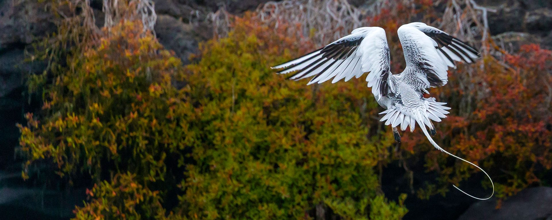 Red-billed tropicbird hovers among the rocky cliffs of the Galapagos Islands, Ecuador