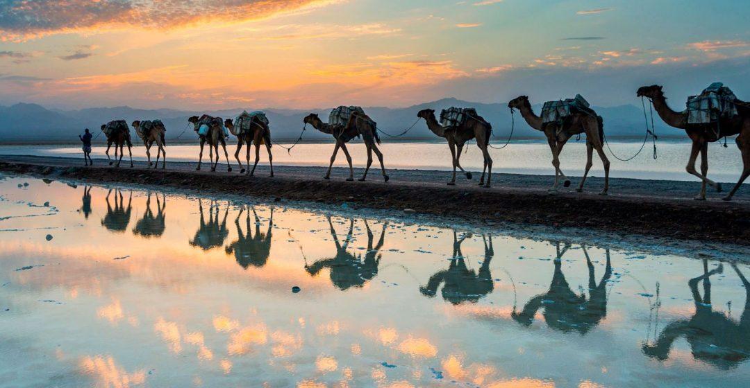 Camels walking through a salt lake in the Danakil Depression, Ethiopia