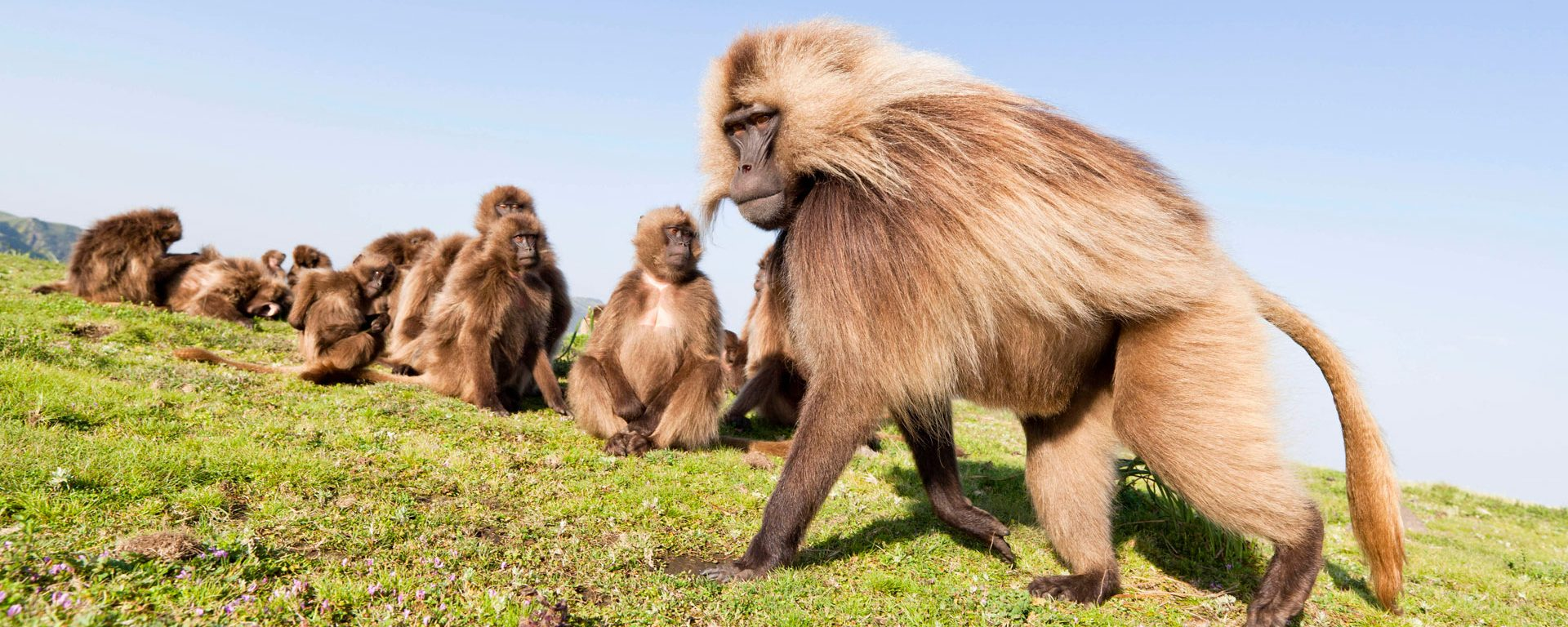 Gelada baboons in the Simien Mountains, Ethiopia