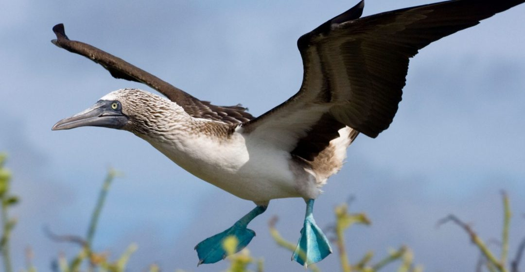 A blue-footed booby flies on the island of Espanola, Galapagos, Ecuador
