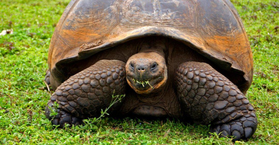 The Galapagos Tortoise in the highlands of Santa Cruz Island, Galapagos, Ecuador
