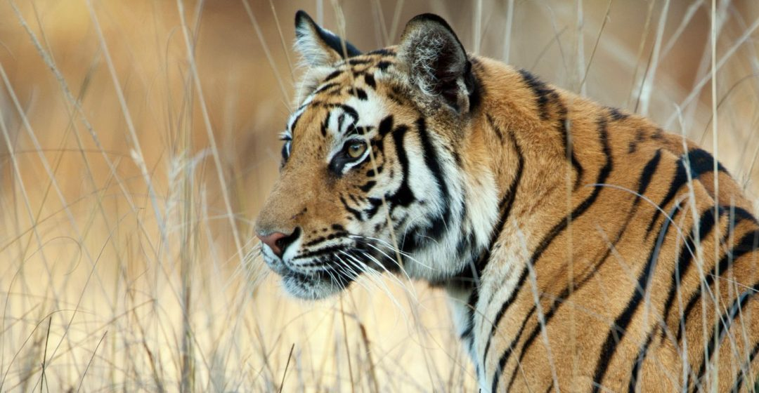 A watchful Bengal Tiger in long grass, Bandhavgarh National Park, India