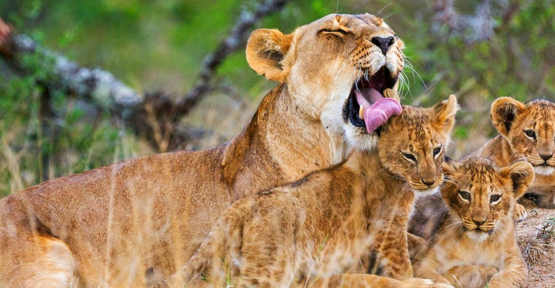 A lioness licks one of her three cubs in Laikipia, Kenya