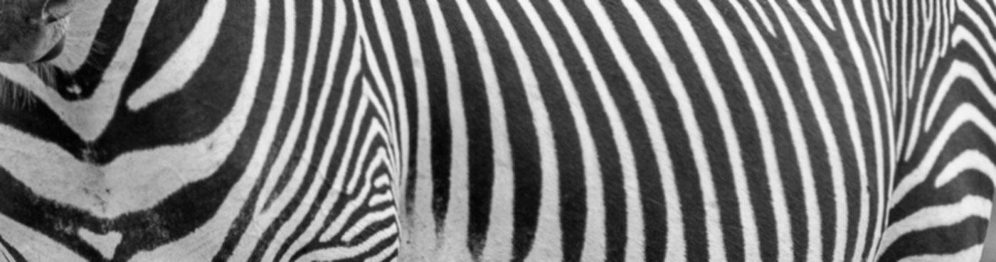 Grevy's zebras in Laikipia, Kenya