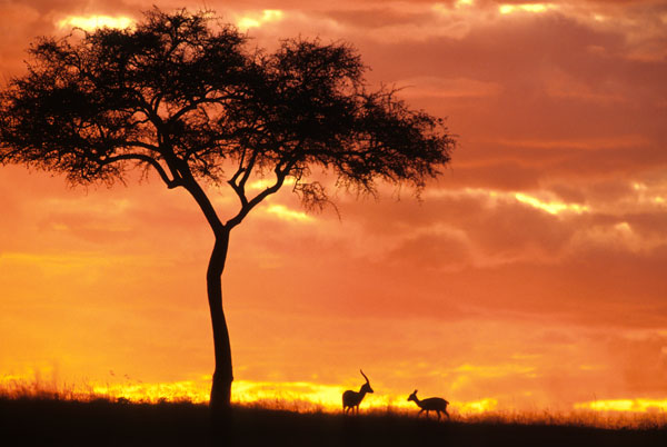 Gazelle grazing under Acacia tree at sunset at Maasai Mara on safari in Kenya.
