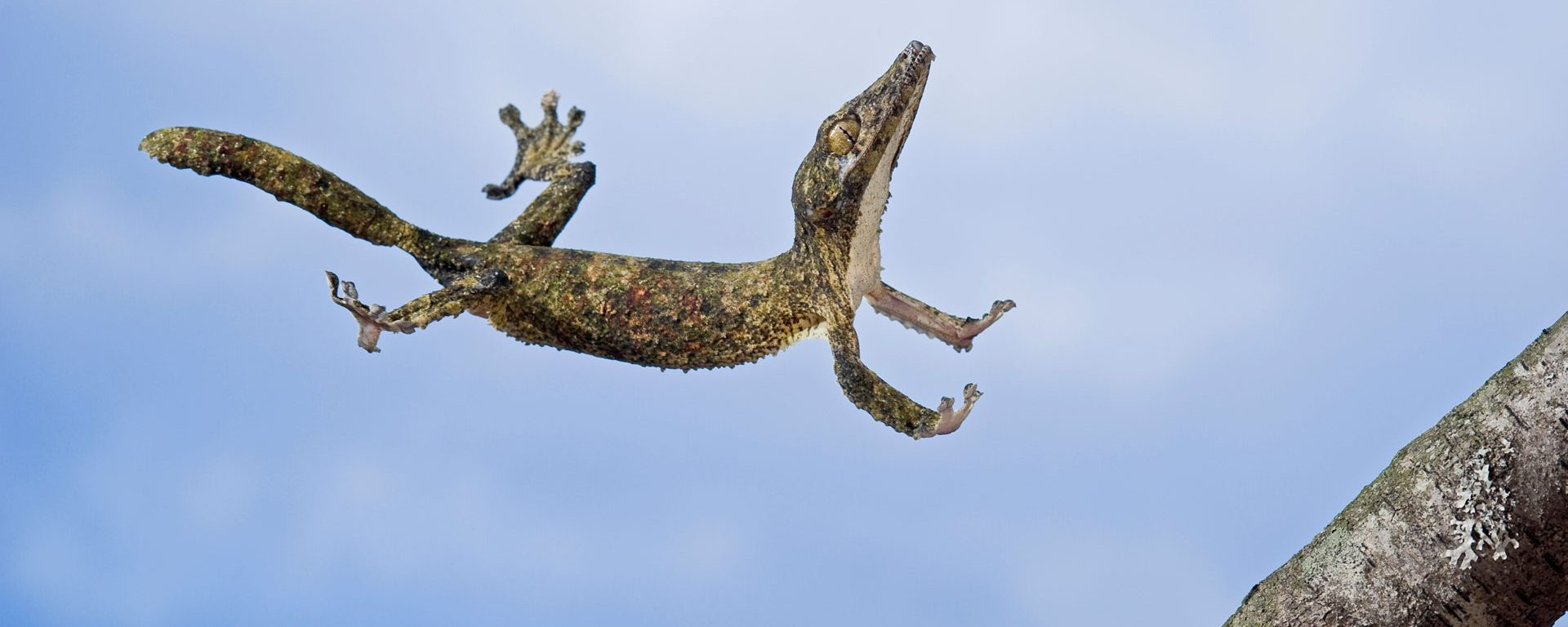 Henkel's leaf-tailed gecko in mid leap, Madagascar