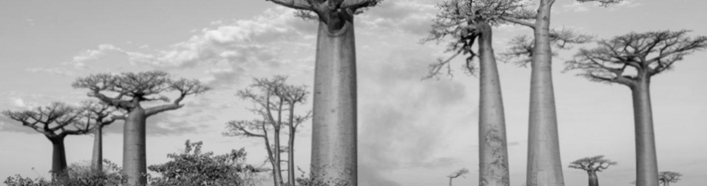 Madagascar, Morondava, Les AllAe des Baobabs at sundown