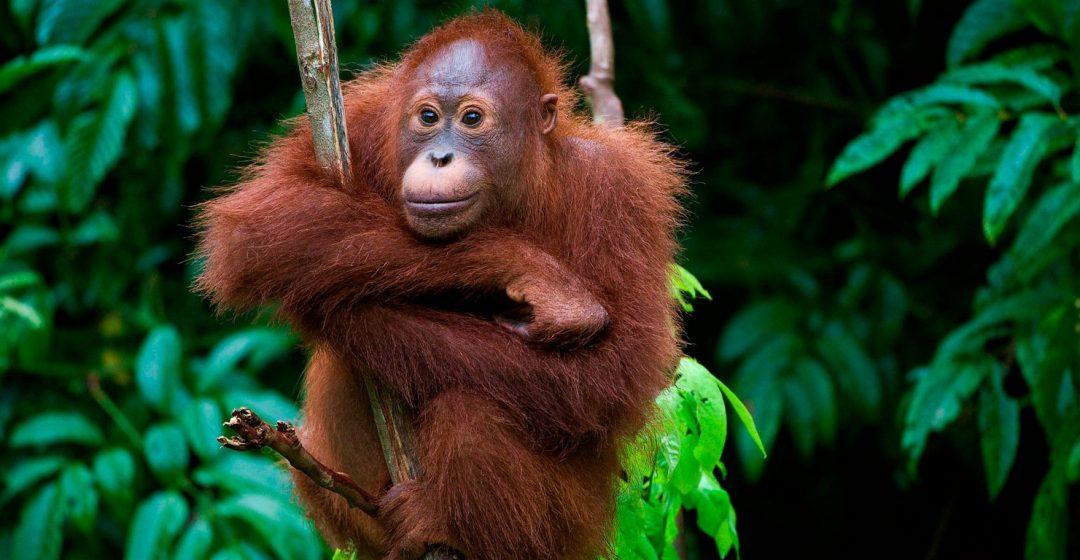 Young orangutan in tree, Borneo, Malaysia