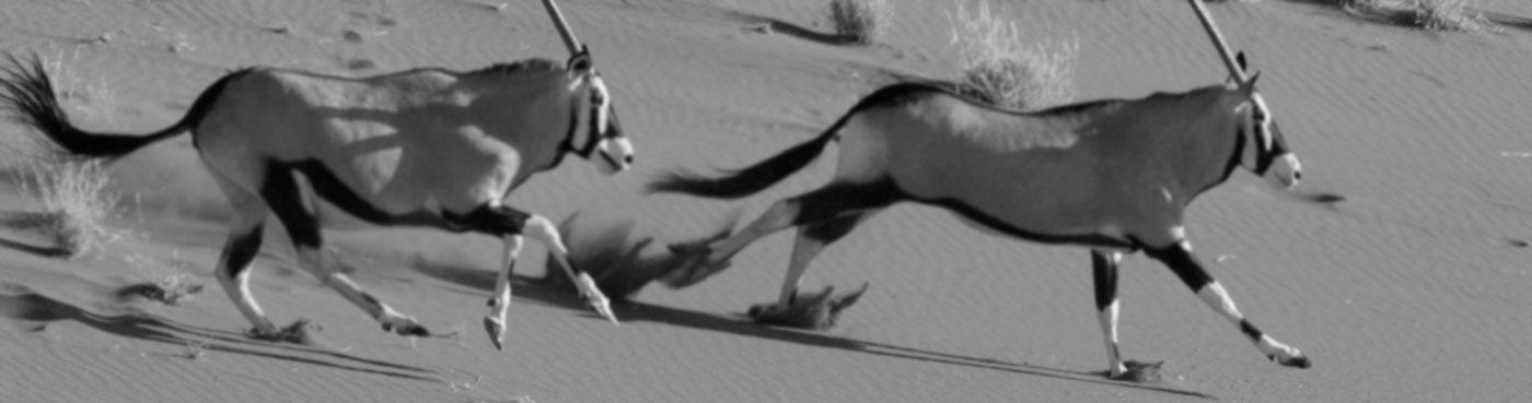 A pair of oryx running near Dead Vlei, Sossusvlei, Namibia