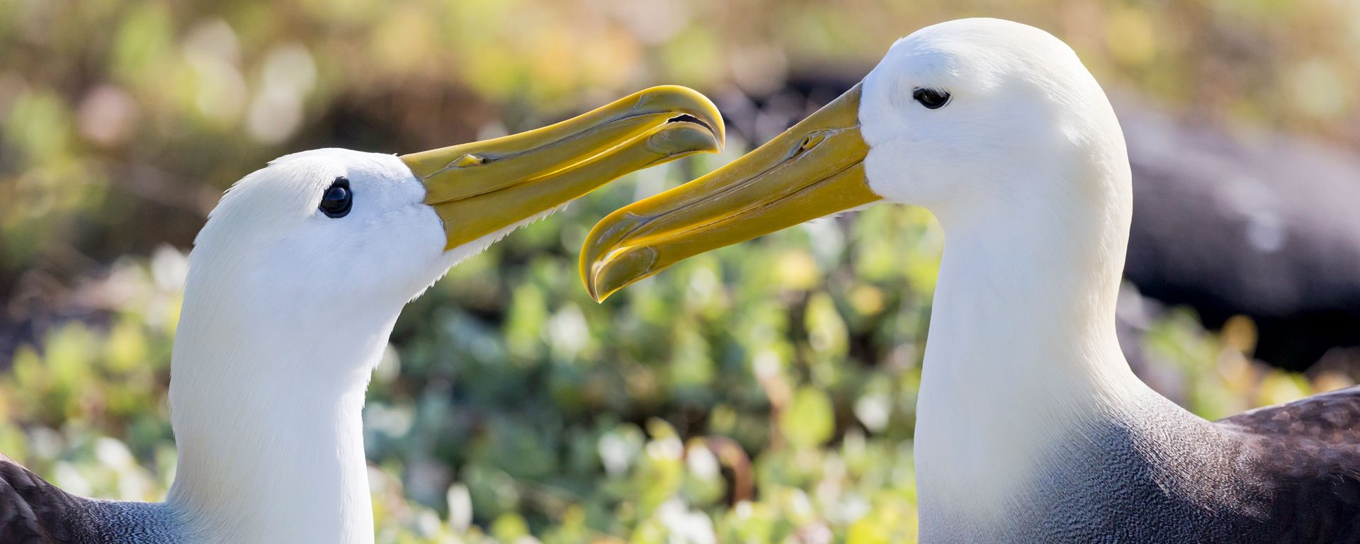 Two waved albatrosses interacting in Punta Suarez, Espanola Island, Galapagos